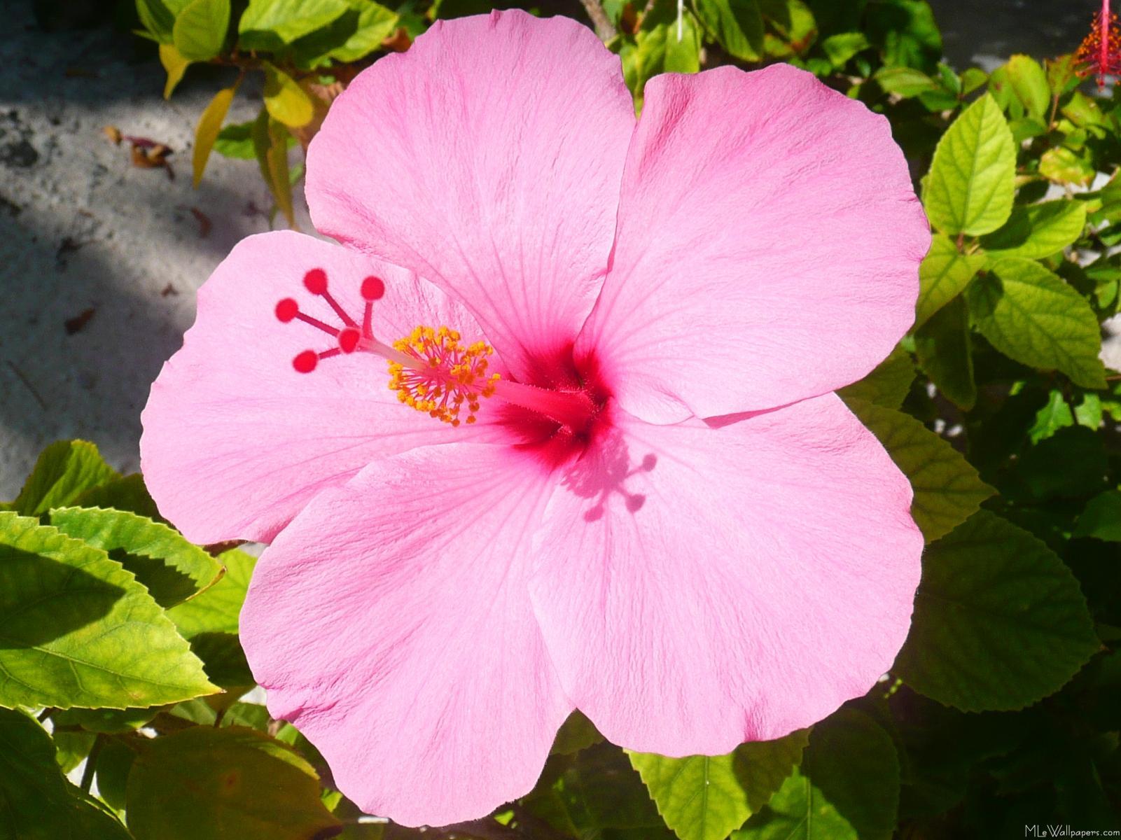 http://koreancenter.org.ua/wp-content/uploads/2011/05/Pink-Hibiscus.jpg